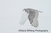 Snowy Owl in Flight During Snowstorm
