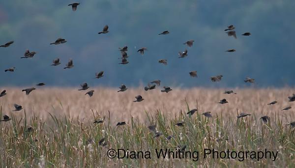 Black Birds in Migration