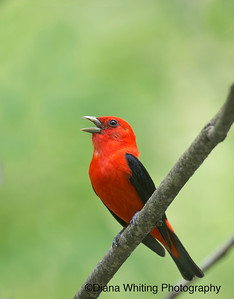 Scarlet Tanager May