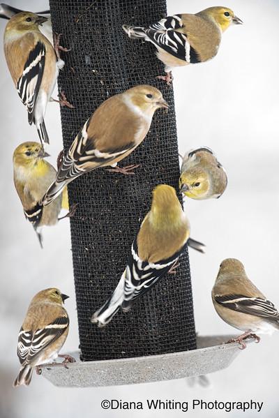 Goldfinch On Niger Feeder