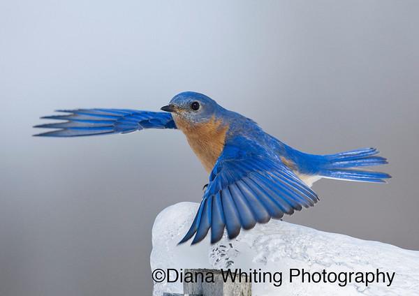 Bluebird In Flight Winter