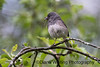 Junco With Damselfly