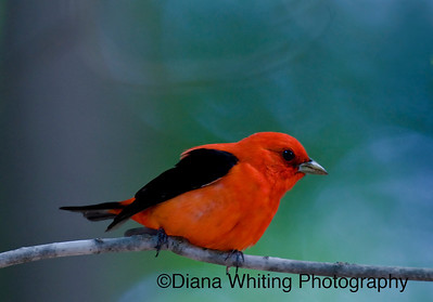 Male Scarlet Tanager 2