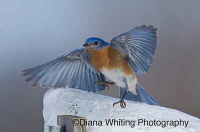 Bluebird in Winter