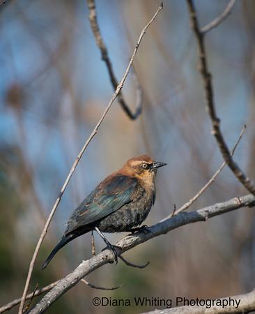 Rusty Blackbird_DSC6044 copy