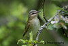 Red-eyed Vireo 2