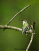 Ruby-throated Hummingbird on p
