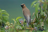 Cedar Waxwing On Dogwood Berries