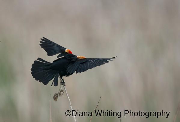 Red-winged Blackbird Taking