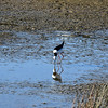 A Pied Stilt on its never-ending hunt for food