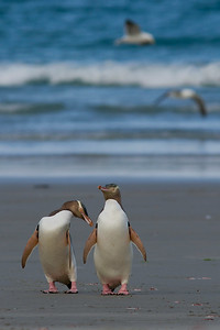 Yellow-eyed Penguins (Megadyptes antipodes)  photographed in New Zealand, Otago Peninsula.