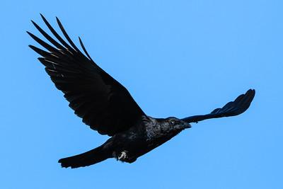 American Crow In-Flight 1