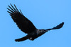 American Crow In-Flight 1