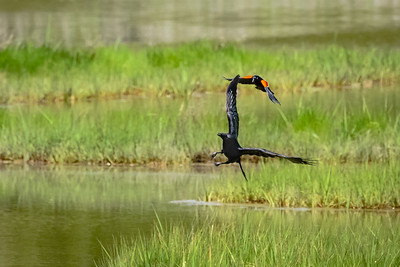 Red-Winged Blackbird Chase 1