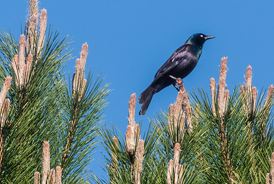 Common Grackle in Treetop