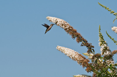 Female Hummingbird Feeding 3