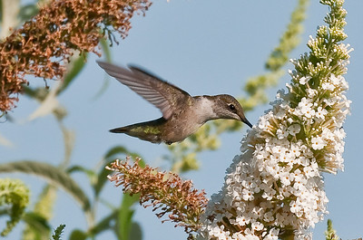 Female Hummingbird Feeding 6