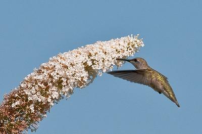 Female Hummingbird Feeding 5