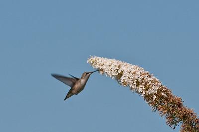 Female Hummingbird Feeding 4