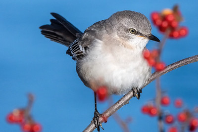 Northern Mockingbird on Red Berry Bush