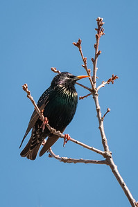European Starling on Branch