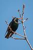 European Starling on Branch
