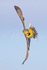 Meadowlark in flight