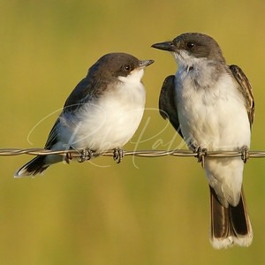 Eastern Kingbird and fledgling