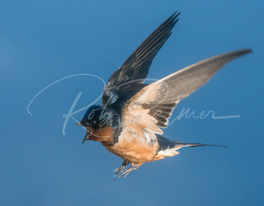 Barn Swallow talking to another one.