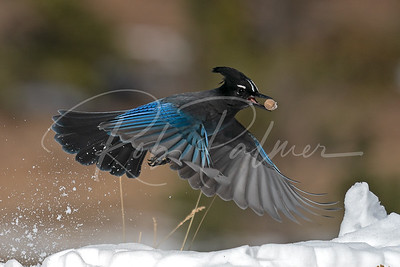 Stellars Jay with a peanut