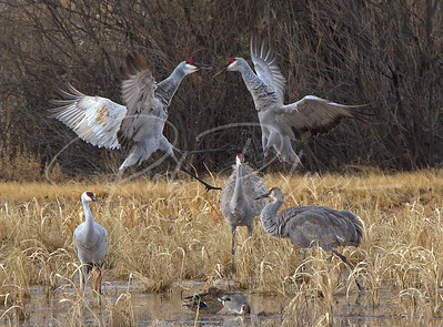 Sandhill Cranes Fighting