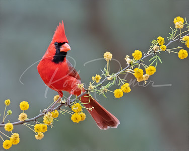 Beautiful Northern Cardinal