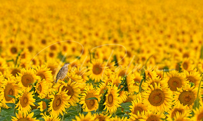 Meadowlark lost in a sea of gold