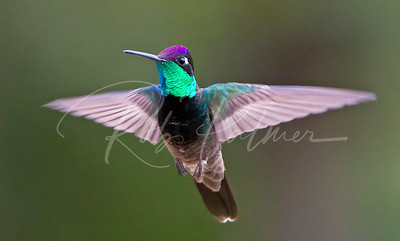 Magnificent Hummingbird 4452
