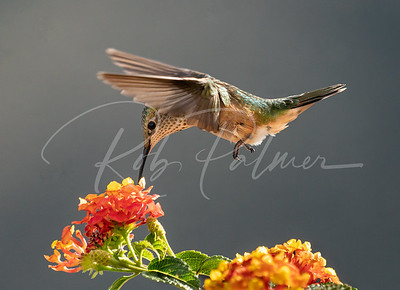Young Broad-tailed Hummingbird
