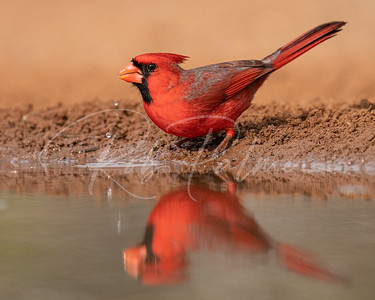 Northern Cardinal getting a drink