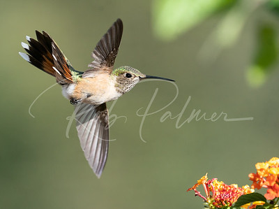 Young Broad-Tailed Hummingbird 2
