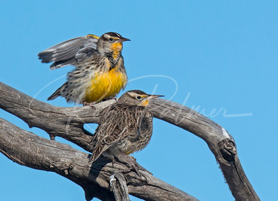 A couple Western Meadowlarks