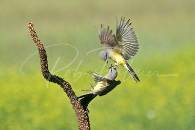 Battling Kingbirds