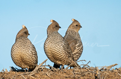 A trio of Scaled Quail on a haystack