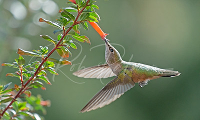 Broad-tailed Hummingbird on Honeysuckle
