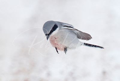 Northern Shrike about to grab a mouse