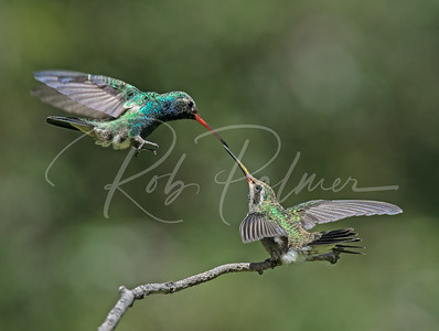 Broad Billed Hummingbird and youngster