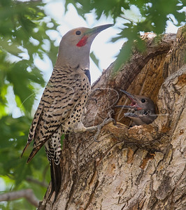 Northern Flicker at nest hole.