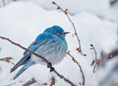 Mountain Bluebird in the snow