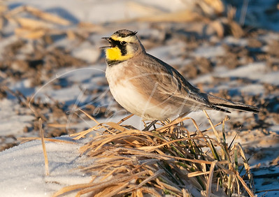 Horned Lark Singing
