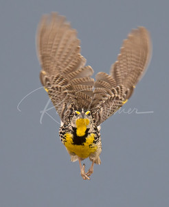 Western Meadowlark coming at ya!