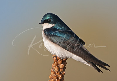 Tree Swallow on a mullein
