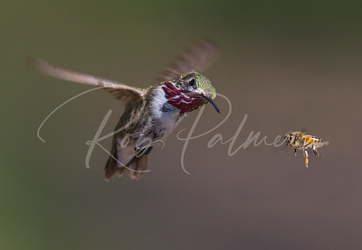 Calliope Hummingbird and honey bee