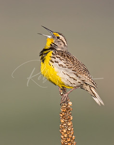 Western Meadowlark Singing